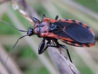 アカシマサシガメ♀ Haematoloecha nigrorufa - 写ればおっけー。コンデジで虫写真