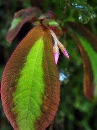 ソネリラ・ビコロール #3 - Blog: Living Tropically