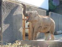 浜松市動物園2017年1月浜子と直虎 - ゾウさん