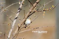 稀な野鳥 ニシオジロビタキ② - azure 自然散策 ~自然・季節・野鳥~
