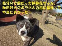 紗弥花ちゃんがやって来た日のこと - もももの部屋(怖がりで攻撃性の高い秋田犬のタイガ、老犬雑種のベスの共同生活&保護活動の記録です・・・時々お空のモカも登場!)