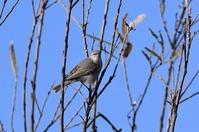 チフチャフ - 四季の鳥たち