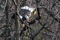 オオワシを撮りに・・・琵琶湖湖北へ - 趣味人のれんず