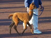 アルパカの赤ちゃん、お散歩練習中! - さして意味なし、面白くもなし