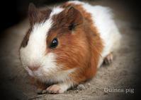 モルモット:Guinea pig - 動物園の住人たち写真展(はなけもの写眞館)