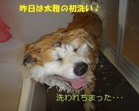 太雅の初洗い🎵🎵 - もももの部屋(怖がりで攻撃性の高い秋田犬のタイガ、老犬雑種のベスの共同生活&保護活動の記録です・・・時々お空のモカも登場!)