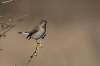 ニシオジロビタキ - 野鳥フレンド  撮り日記