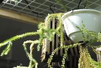 "Huperzia sp. ""Aceh Sumatera"" - PlantsCade -2nd effort"
