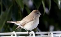 オジロビタキ(ニシ?)その2 - 私の鳥撮り散歩