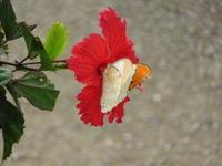 八重山番外編新年の蝶 - 蝶のいる風景blog
