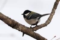 シジュウカラほか - 今日の鳥さんⅡ
