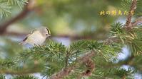 キクイタダキ - 北の野鳥たち