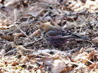 筑波山のハギマシコ - コーヒー党の野鳥と自然 パート2
