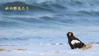 オオワシ - 北の野鳥たち