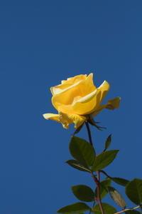 厳冬の薔薇 - tokoのblog