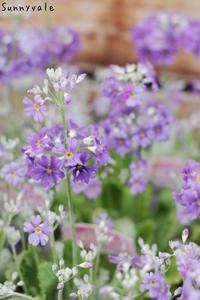 メラコイデス湖畔の夢の寄せ植え - さにべるスタッフblog     -Sunny Day's Garden-