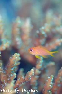 優しい雰囲気が好きっ!!~キンギョハナダイ幼魚~ - 池ちゃんのマリンフォト