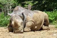 国内最高齢シロサイが死亡@八木山動物園 - ごきげんよう 犀たち