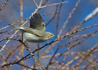 チフチャフ - 今日も鳥撮り