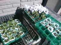 ノースポールを寒空に… - うちの庭の備忘録 green's garden