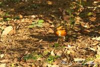 紅白の・・赤!「オオアカハラ」さん~Σ^) ♪ - ケンケン&ミントの鳥撮りLifeⅡ