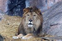 東山動植物園のライオン一家 - 動物園放浪記