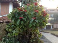 カトマンズは植物としてみると亜熱帯。 - アーバン・ガーデン・ウォッチング