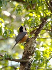筑波山のヤマガラとカシラダカ - コーヒー党の野鳥と自然 パート2