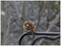 冬の渡り鳥、ジョウビタキが庭のデッキでまったり~ - さくらおばちゃんの趣味悠遊