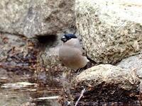 ウソの♀がいました - コーヒー党の野鳥と自然 パート2