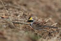 今季初のミヤマホオジロ - 野鳥公園