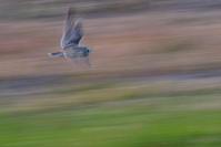 コミミズクの飛翔 - サンヨン片手に自然散策