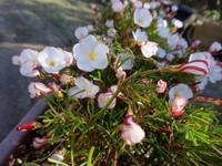 オキザリス・マーブル - だんご虫の花