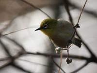 今日の鳥さん170119 - 万願寺通信