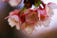 春の使者・・・(写真部門) - ショーオヤジのひとり言
