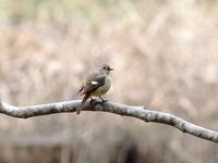アヤメ池のジョウビタキ - コーヒー党の野鳥と自然 パート2