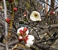きょうは大寒,白梅も咲きだしました - 楽餓鬼