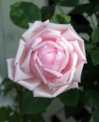 今年はモダンローズ誕生から150周年 - 元木はるみのバラとハーブのある暮らし・Salon de Roses