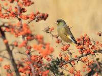 カワラヒワ♪ - 小鳥との軌跡2