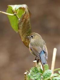 公園のルリビタキ - コーヒー党の野鳥と自然 パート2