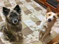 真剣な眼差し - 琉球犬mix白トゥラーのピカ