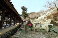 長谷寺回廊の傍冬牡丹 - 平凡な日々の中で
