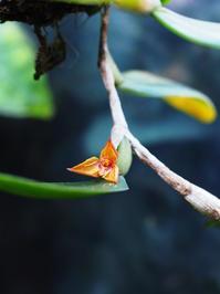 バルボフィラム・フラボフィンブリアータム #3 - Blog: Living Tropically