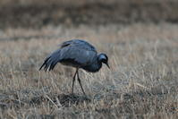 アネハヅル - 野鳥フレンド  撮り日記