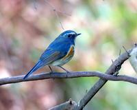思いがけなく青い鳥 - 星の小父さまフォトつづり