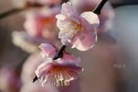 梅の香り - 錦眼鏡