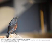 平磯海岸 2017.1.21(2) - 鳥撮り遊び