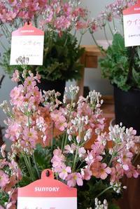 サクラソウ、ベゴニア入荷しています♪ - 花と暮らす店 木花 Mocca