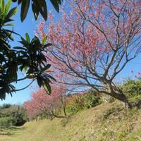 さくら咲く土肥桜満開 - 山麓風景と編み物