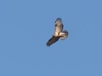飛翔するノスリ - コーヒー党の野鳥と自然 パート2